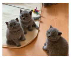 Sprzedam kotek brytyjski krótkowłosy !!!