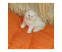 Sprzedam kocięta perskie