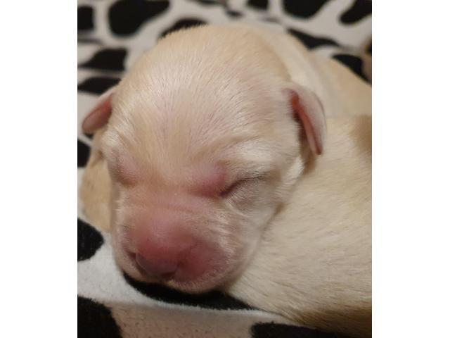 Labrador Retriever szczenięta FCI żółte, biszkoptowe - 2/7