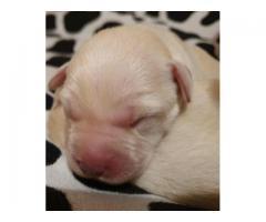 Labrador Retriever szczenięta FCI żółte, biszkoptowe