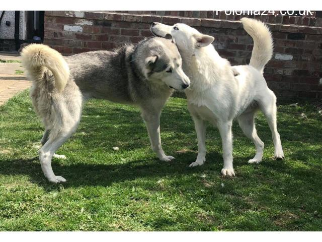 Wspaniałe niebieskie oczy Siberian Husky Szczenięta - 3/3